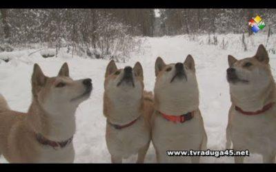 Год желтой собаки встречают в питомнике Сиба-ину