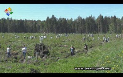 «Лес Победы» высадили в Павловском Посаде
