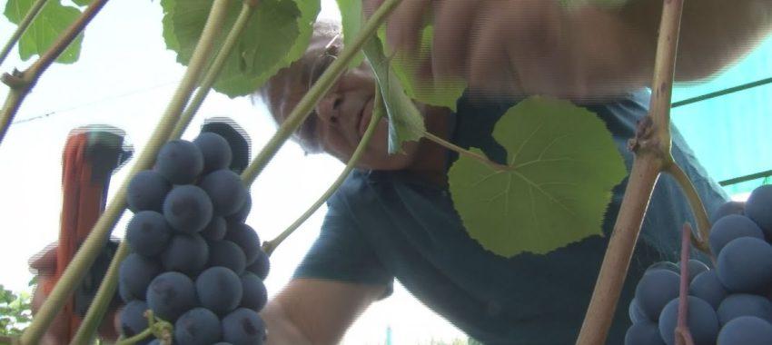 265 сортов винограда выращивает Игорь Кузьмин на участке в Подмосковье