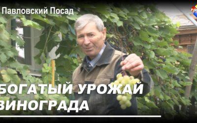 Богатый урожай винограда собирает павловопосадец Николай Сырбу